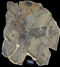 Le fossile très bien conservé de ce nouveau dinosaure «arc-en-ciel».
