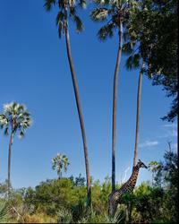 Une girafe au pied des palmiers mokola.