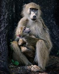 Une femelle babouin protège sa progéniture.