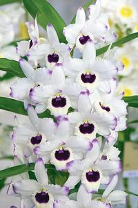 <i>Dendrobium nobile</i> de la variété 'Paula' issue d'un croisement entre 'Pure Heart' et 'Asian Smile'.