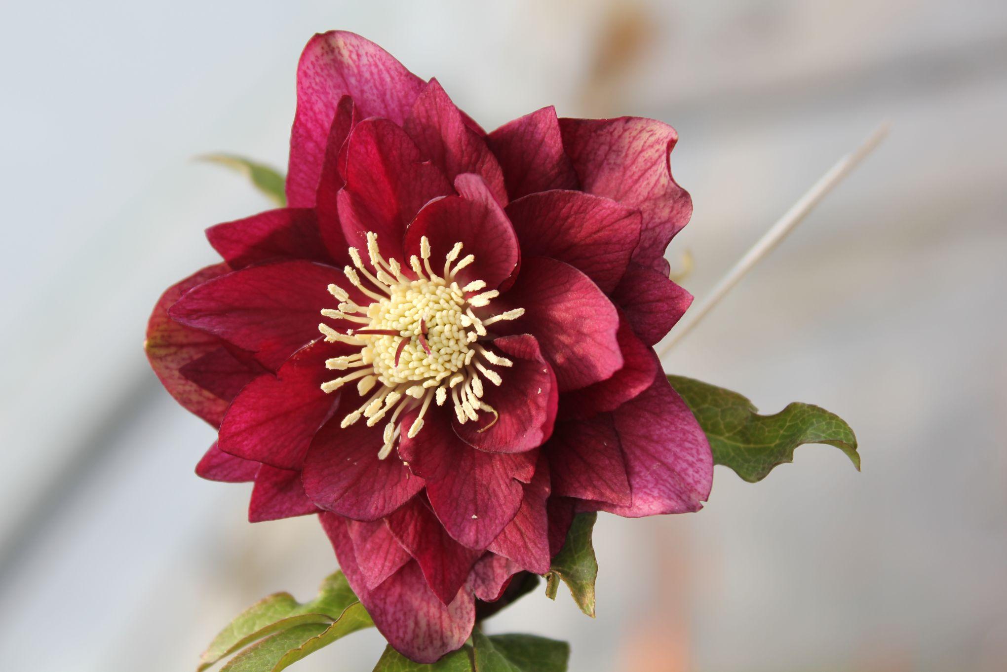 hell bore la sublime rose de no l qui enchante l 39 hiver. Black Bedroom Furniture Sets. Home Design Ideas