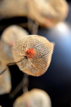 Les lanternes ajourées des physalis persistent jusqu'aux gelées.
