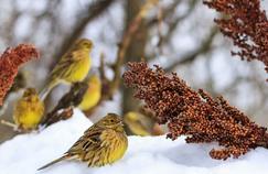 Oiseaux des jardins: comment enrayer leur déclin ?