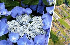 Dans le Morbihan, la féerie lumineuse des hortensias du Haut Bois