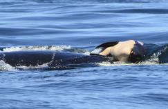Une maman orque a porté son bébé mort pendant 17 jours