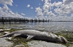 En Floride, l'état d'urgence décrété contre une algue tueuse