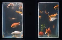 L'Aquarium de Paris sert de refuge aux poissons rouges