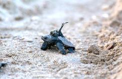 Naissance rarissime de bébés tortues marines sur une plage française