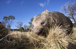 Le secret des crottes en cubes du wombat