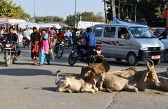 En Inde, la protection de la vache sacrée freine l'économie