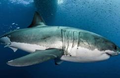 Les superpouvoirs du grand requin blanc sont inscrits dans ses gènes