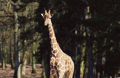 Les girafes du zoo de Thoiry au chaud grâce au Salon de l'agriculture
