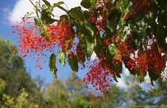 Brachychiton à feuille d'érable, l'arbre à flammes