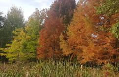 Cyprès chauve, l'arbre aux racines aériennes
