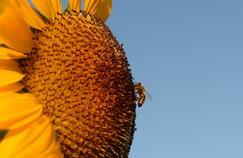 Pour sauver les abeilles, des apiculteurs envoient des graines aux quatre coins du monde