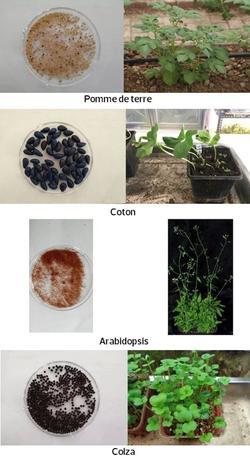 Les espèces de plantes envoyées par la Chine sur la Lune.
