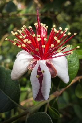 Fleur de Feijoa.