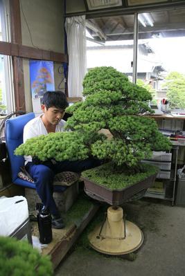 Taille d'un bonsaï. Photo: Francesca Alongi/Le Figaro.