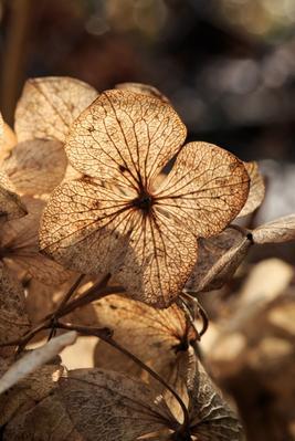 Fleurs d'hortensia fanées.