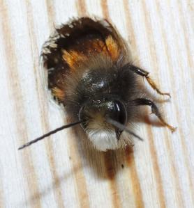 Osmie cornue mâle sortant de son nic au printemps. On recense plus de 800 espèces d'abeilles sauvages en France. Crédit photo: stanze/Flickr.