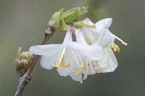 Chèvrefeuille <i>Lonicera fragrantissima.</i> Dès février, ses fleurs blanc rosé exhalent un puissant parfum.