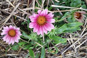 Plante semi-rustique, le gazania craint le froid et le gel. DR