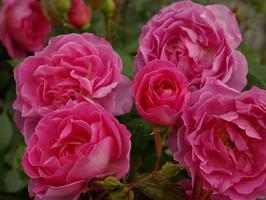 'Génération jardin', obtention Delbard. Ce rosier a obtenu le premier prix du Grand prix de la rose/SNHF 2010 dans la catégorie «paysage».