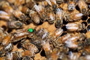 La reine, marquée d'un point vert pour être facilement reconnaissable, est plus longue que les autres abeilles.
