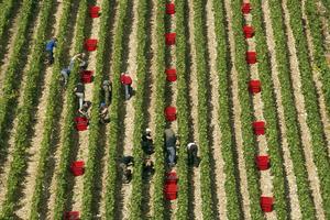 Cueillette du raisin aux Riceys (Michel Jolyot)