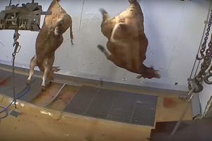 Les bovins non étourdis sont massacrés, @L214