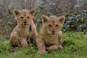 Bagani et Luena, les lionceaux du Parc des félins (77).