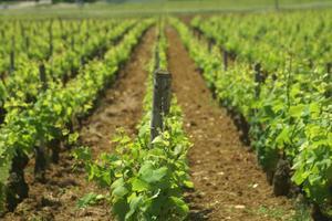 Le négociant en vin exploite 530 hectares de vigne. Crédits Photo: Bejot Vins & Terroirs.