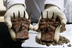 Pattes de chien péruvien retrouvées lors de fouilles archéologiques / Reuter