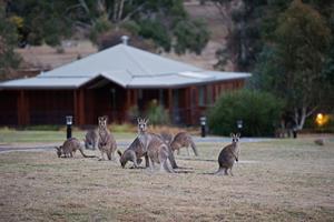 Les kangourous sont bien curieux ... Stanislas Fautré / Le Figaro Magazine