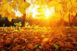 Pour prendre leurs belles teintes jaune d'or, les feuilles doivent subir des températures négatives.
