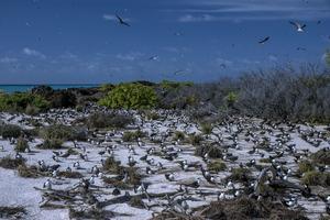 Bird Island. Colonie de sternes fuligineuses.