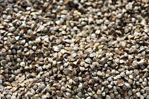 Des graines de blé noir