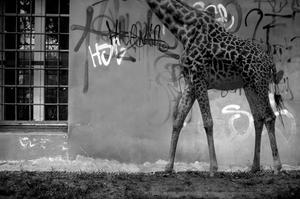 <i/>«Tristesse et joie dans la vie des Girafes» <i>. </i>Crédit photo: Jeanne Roualet <i/>