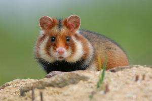 Grand hamster d'Alsace.