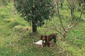 Bella, une chienne sprocker, a découvert la première truffe noire du Périgord en territoire britannique.