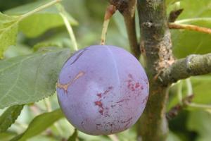Prune Reine-Claude violette