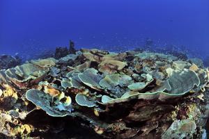 Coraux mous en corolles dans le sanctuaire marin de Palau en Micronésie