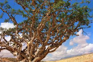 L'arbre à encens est un petit feuillu endémique de la région du Dhofar.