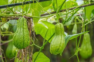 Fruits de chayote.