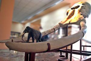 Éléphant à défenses droites exposé au musée du Prado à Madrid.