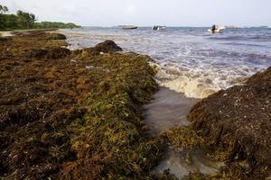Photo prise en 2011 des algues sargasses en Martinique.