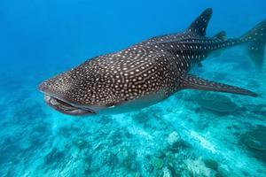 Les requins-baleines du Ningaloo reef - Australia