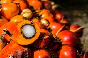 Le fruit du palmier à huile.