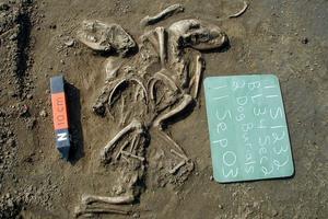 Deux chiens enterrés rituellement il y a environ 1000 ans aux États-Unis.