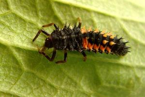 Larve de coccinelle asiatique avec ses appendices plumeux de couleur noire ou orange caractéristiques.